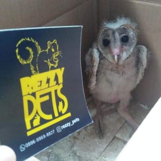 BARN OWL BC