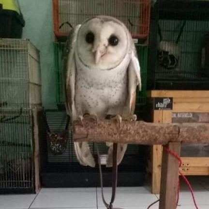 BARN OWL REMAJA