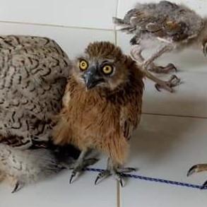 BUFFY FISH OWL ANAKAN