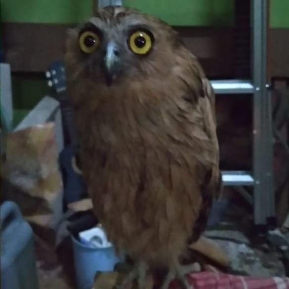 BUFFY FISH OWL JINAK