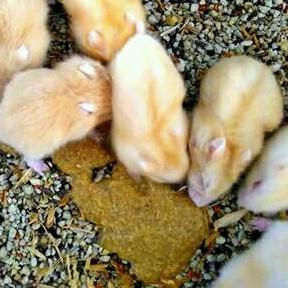 Hamster Golden Red Eyes