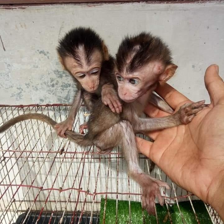 MONYET PANTAI BABY
